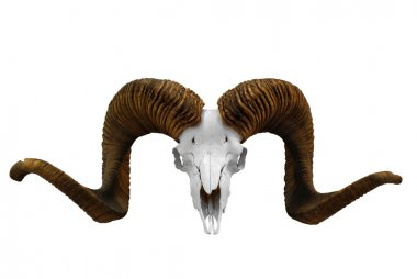 Skull with big horn