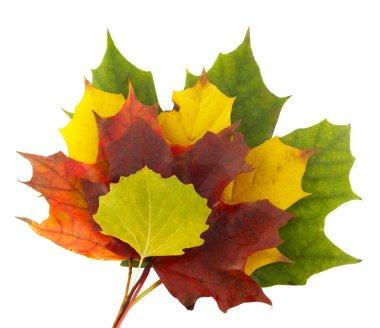 Autumn colors 1; mapple leaves