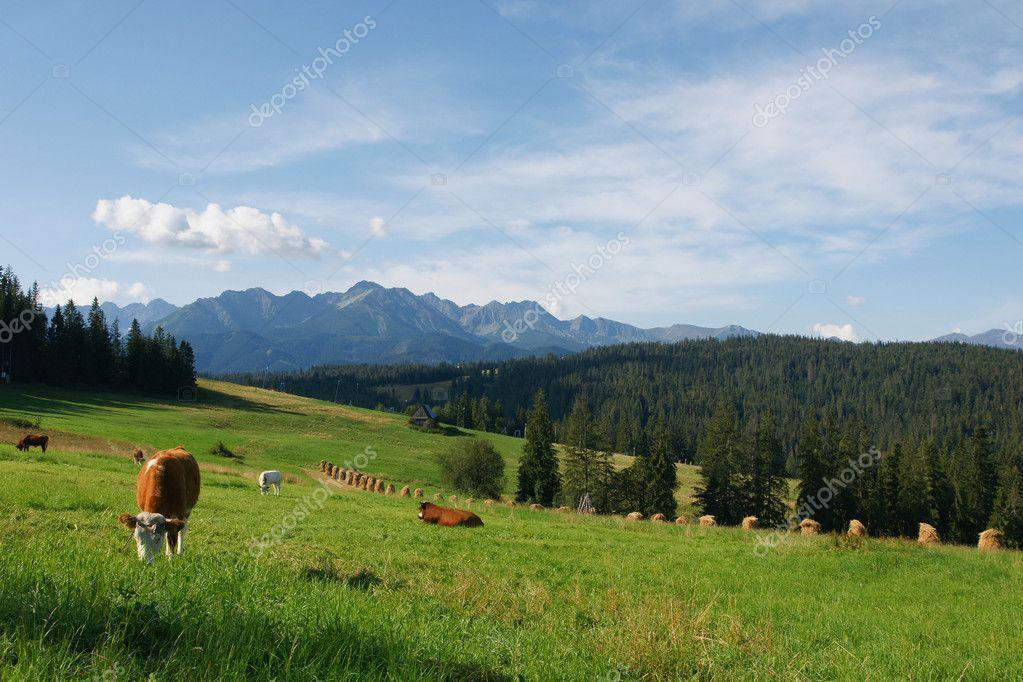 Cows in Tatras