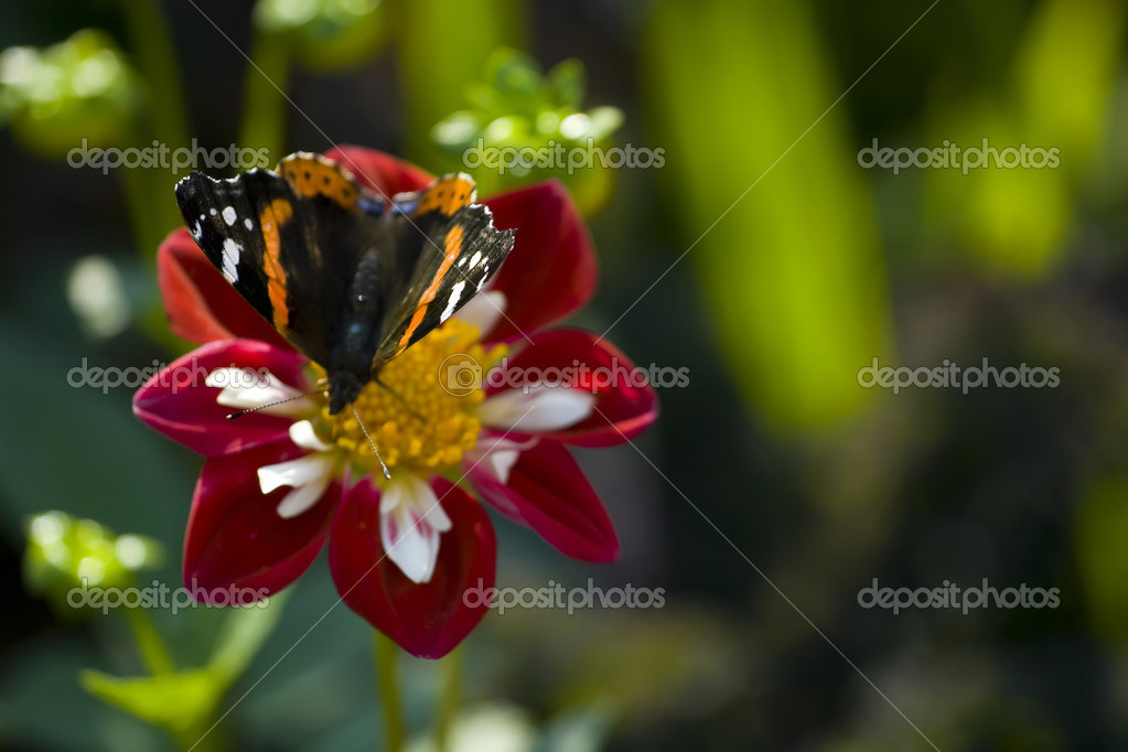 Butterfly on the red aster