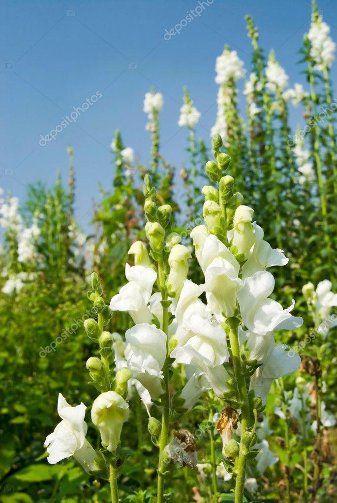 White snapdragon flowers under blue sky stock photo ansonde 1808199 white snapdragon flowers under blue sky stock photo mightylinksfo