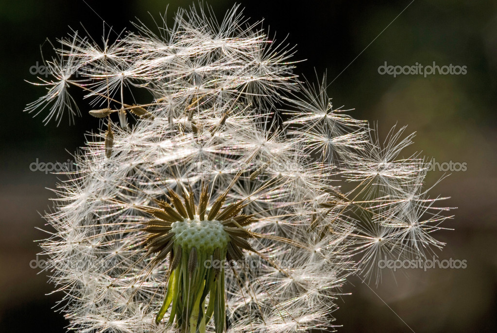 Seed of Dandelion flower