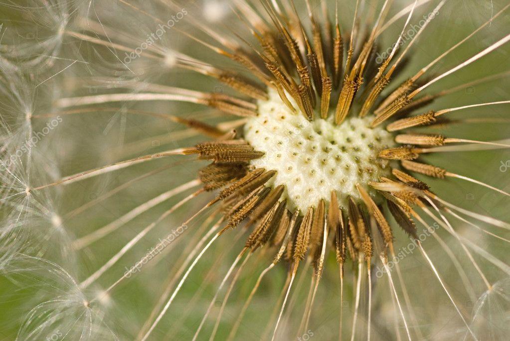 Dandelion seeds in heart pattern