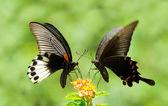 otakárek butterfly podíl květiny