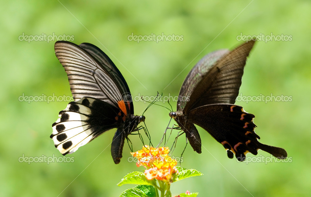 Swallowtail Butterfly share flowers