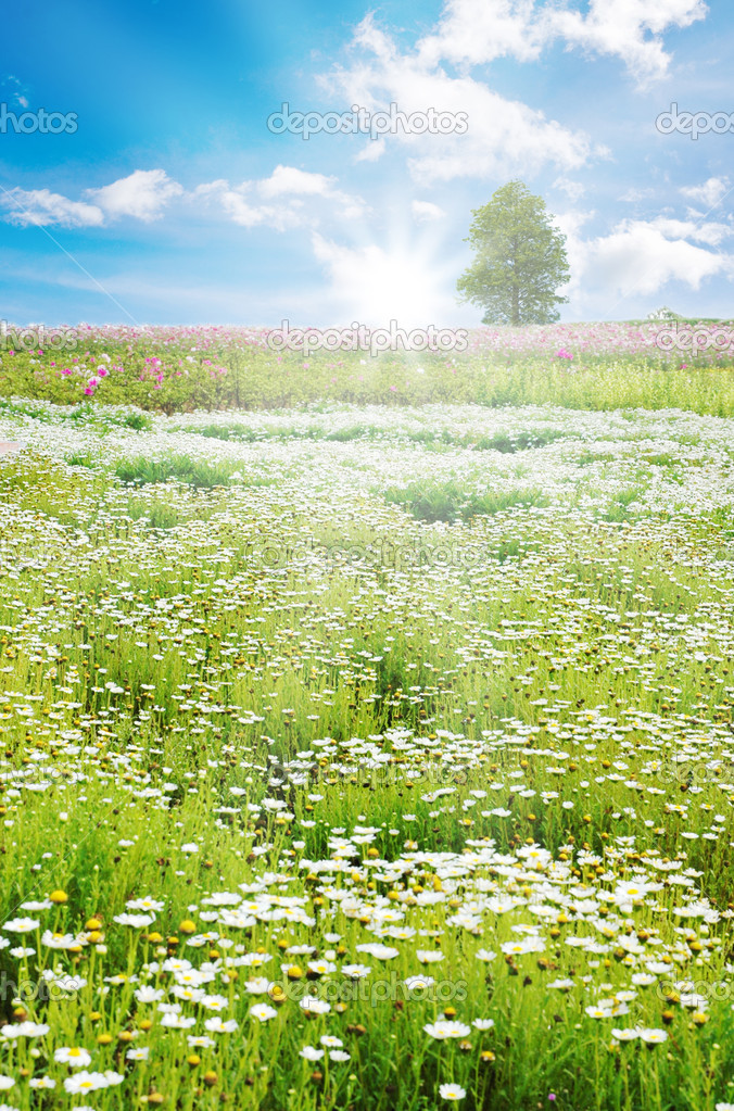 Sunrise in Spring field, daisy flowers