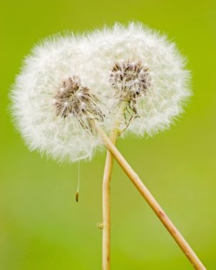 Hug of dandelion