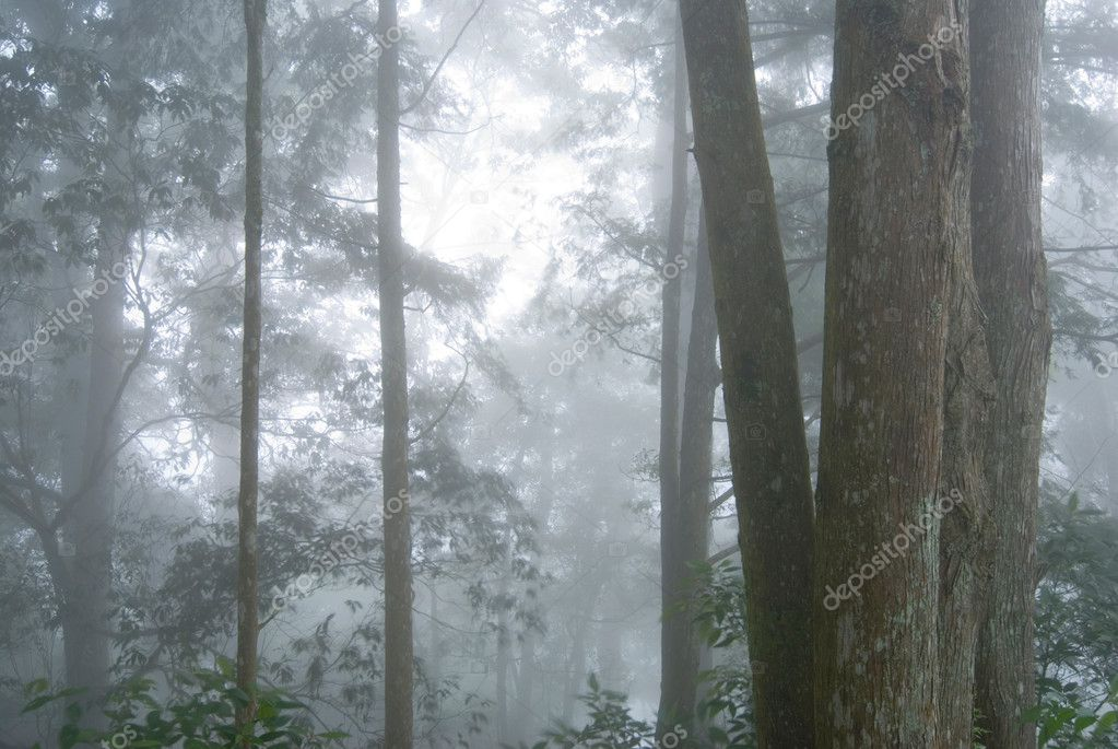 Pine tree forest with fog.