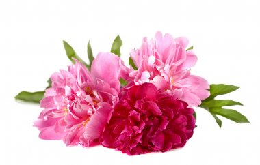 Three peonies on white background