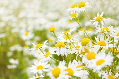 Bright daisy field in spring