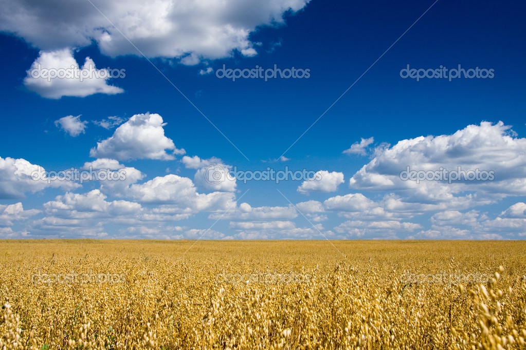 Golden oat field over blue sky