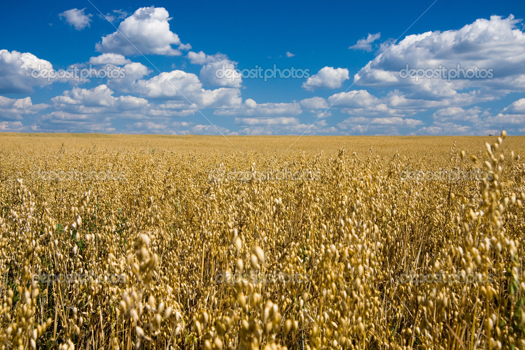 Фотообои Oat field and blue sky