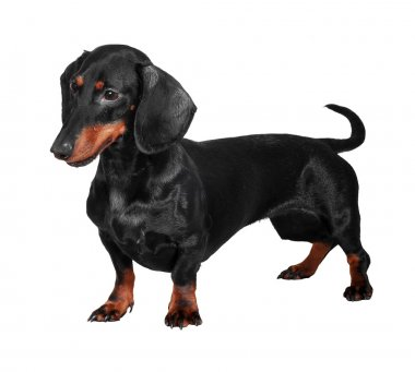 Dog dachshund isolated on whit