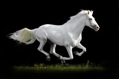 White horse run gallop on grass isolated