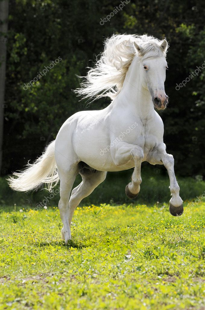 ᐈ White Horse Stock Photography Royalty Free White Horse Running Images Download On Depositphotos