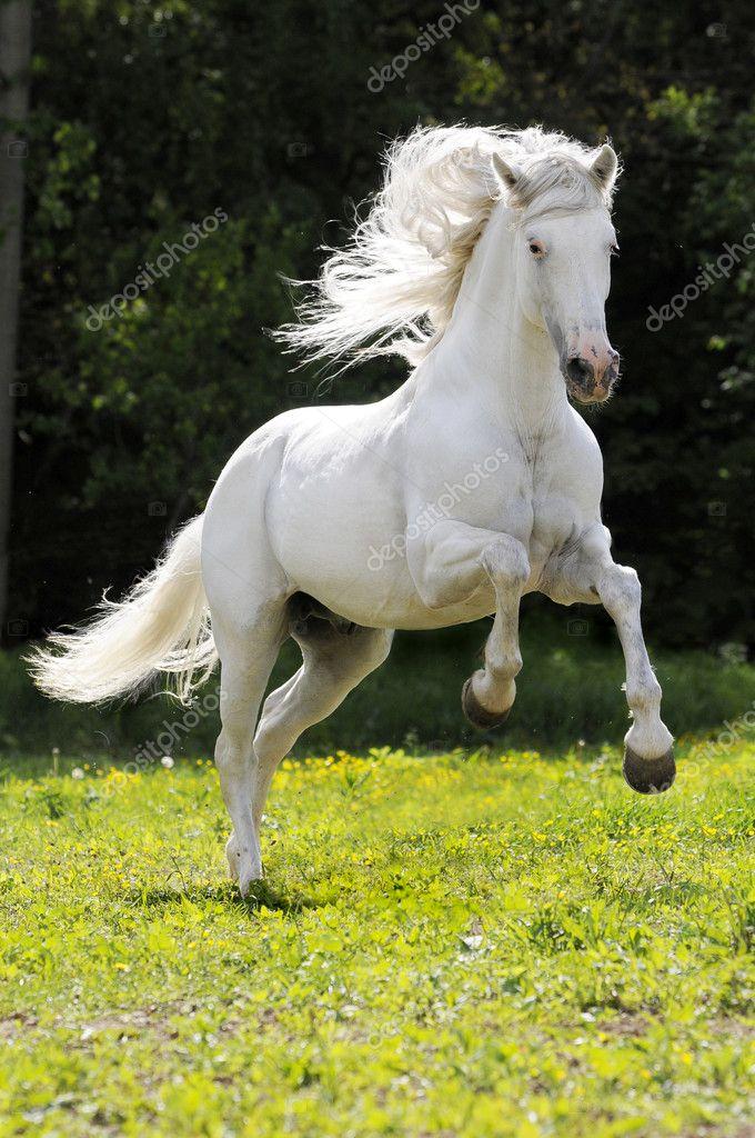 White Horse Running Gallop Stock Photo Vikarus 1814185