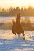 Zlatý hnědák koně v zimě