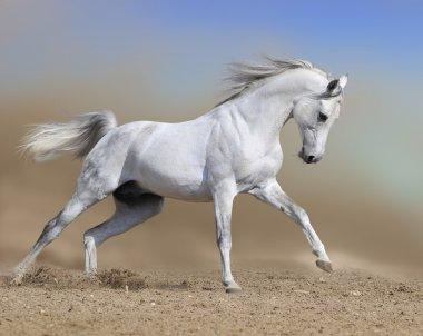 White horse stallion run gallop in dust