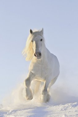 White horse run in winter