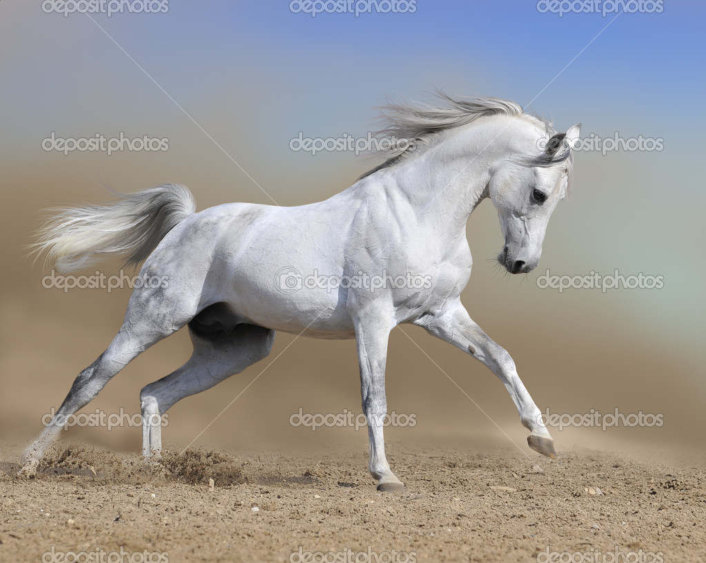 White horse stallion run gallop in dust