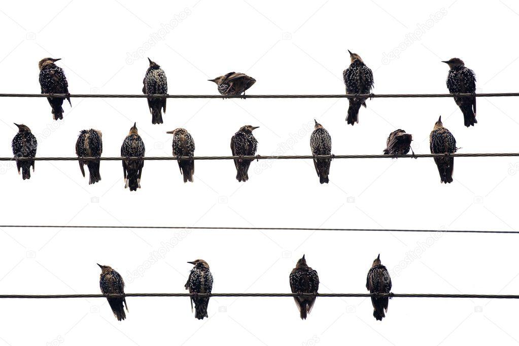 Птицы на проводе. Изолированные на белом фоне — стоковое фото