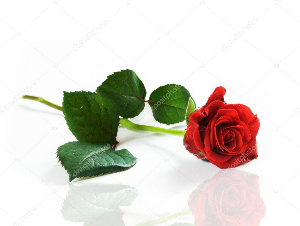 Róża czerwona tekst