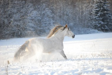 Grey andalusian horse gallops the snow