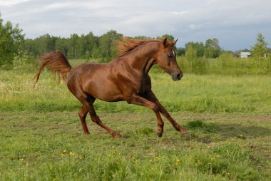 Stately red arabian horse gallop's