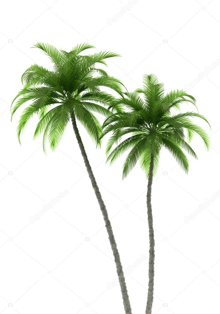 Two palm trees isolated on white