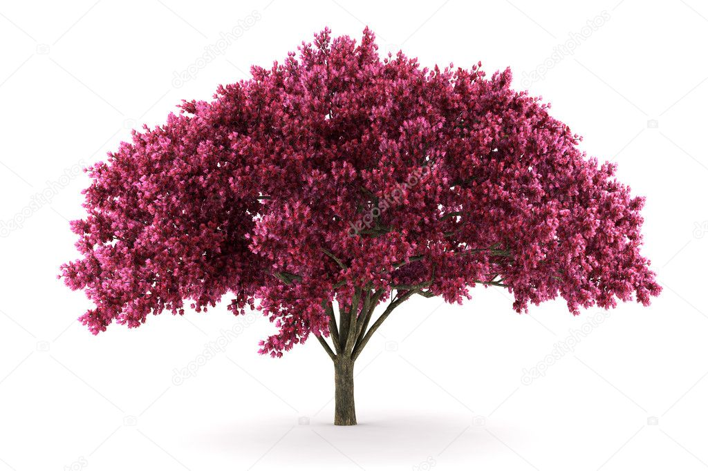 Cherry tree isolated on white