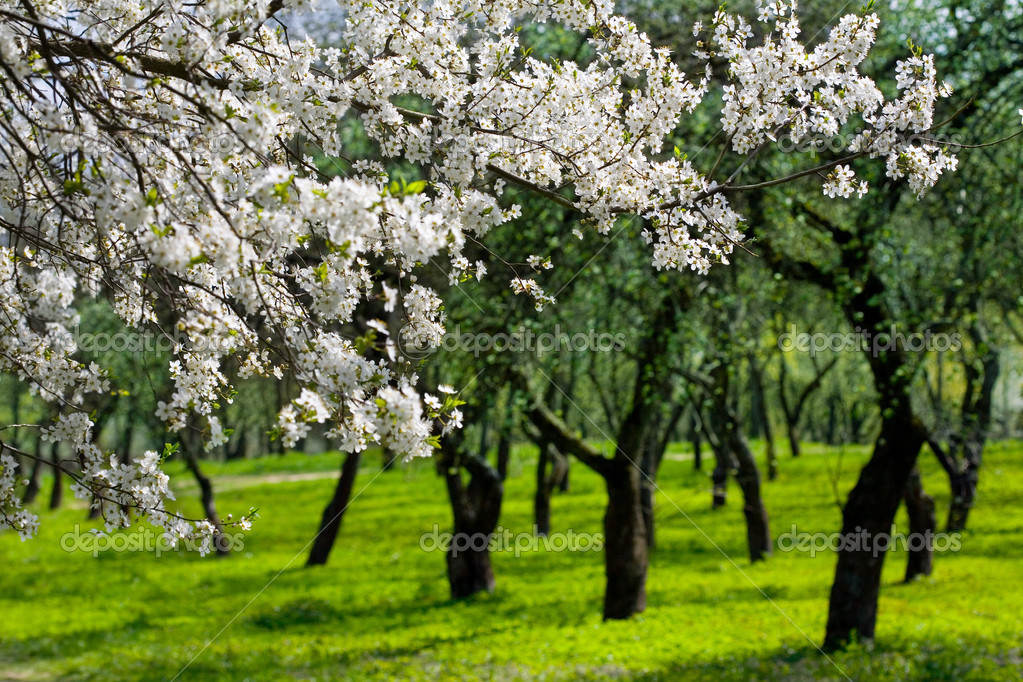 Flowering cherries trees, garden