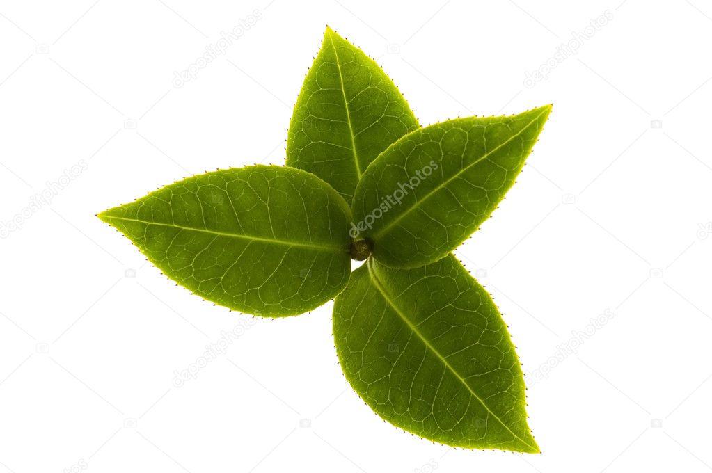 Fresh tea branch