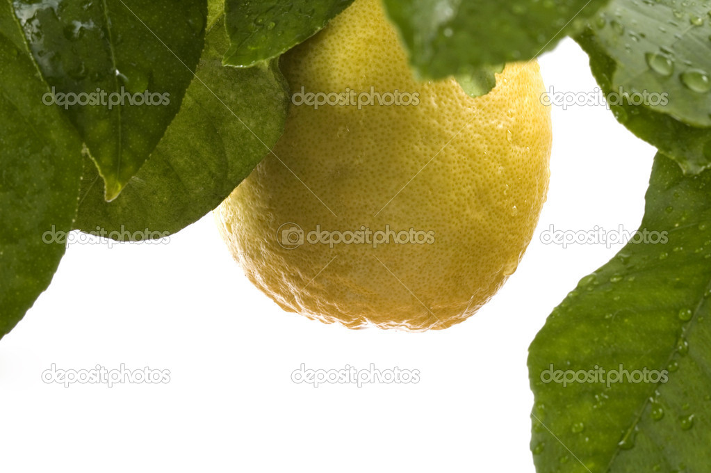 Lemon tree with fruit and leaves