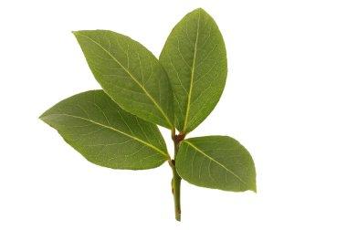 Fresh bay leaf