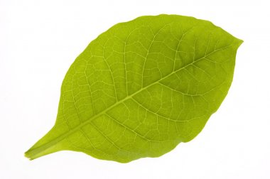 Green tobacco leaf isolated on the white backgro
