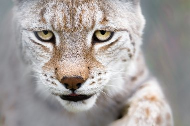Lynx with focused eyes