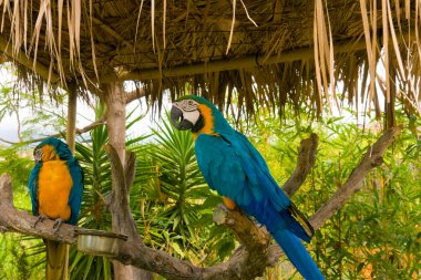 Gold and Blue Macaws