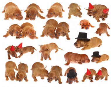 Many dachshund puppies