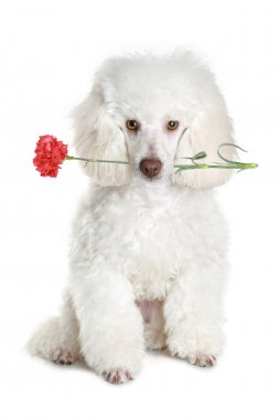 White poodle puppy with red flower