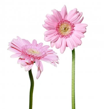Two pink Gerber daisy flowers