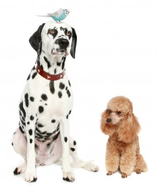 Dalmatian, poodle and budgie