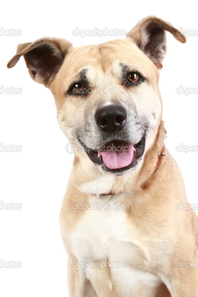 Staffordshire dog on a white background