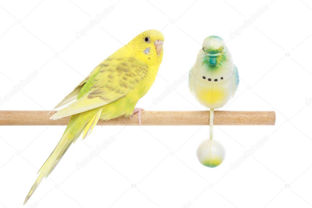 Yellow Budgerigar on a stick