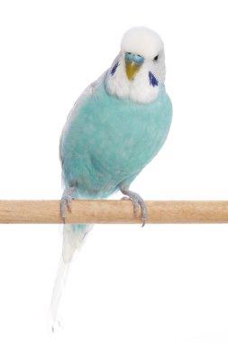 Blue budgerigar on a branch