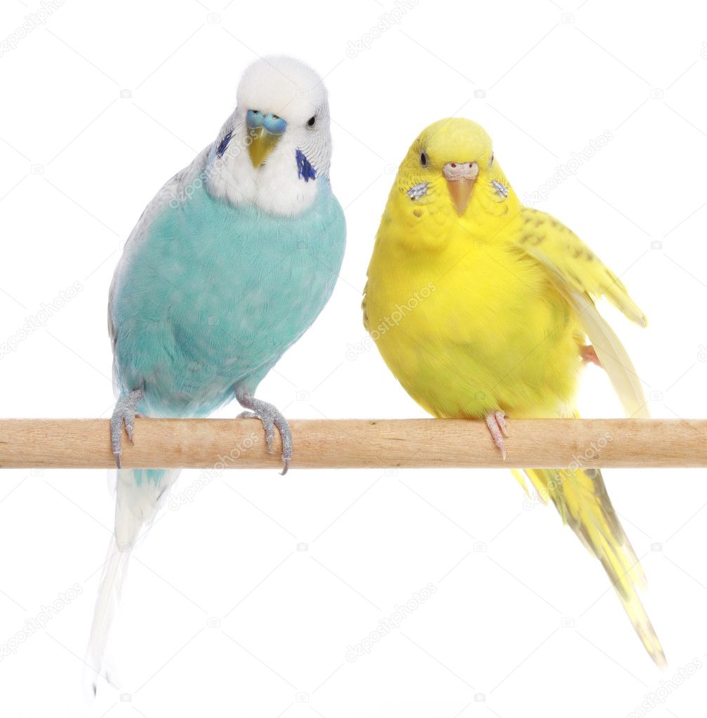 Blue and yellow budgerigars on a branch