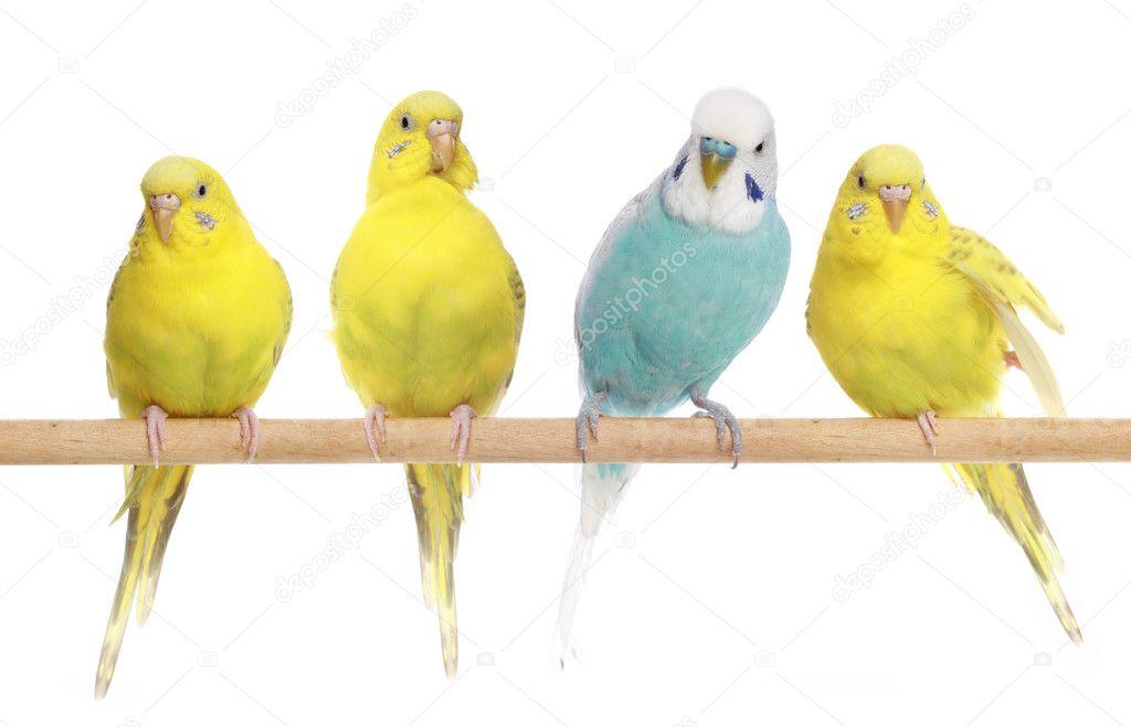 Blue and three yellow budgerigars