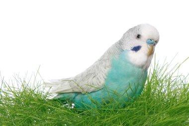 Blue budgerigar in green grass