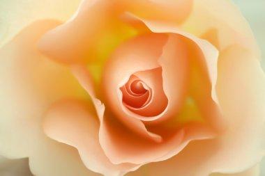 Beautiful beige rose in bloom stock vector