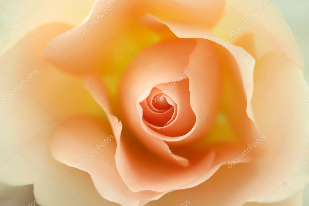 Beautiful beige rose