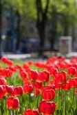 Vörös tulipán és a zöld leveles